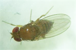 Piégeage de Drosophila suzukii en culture de fraise
